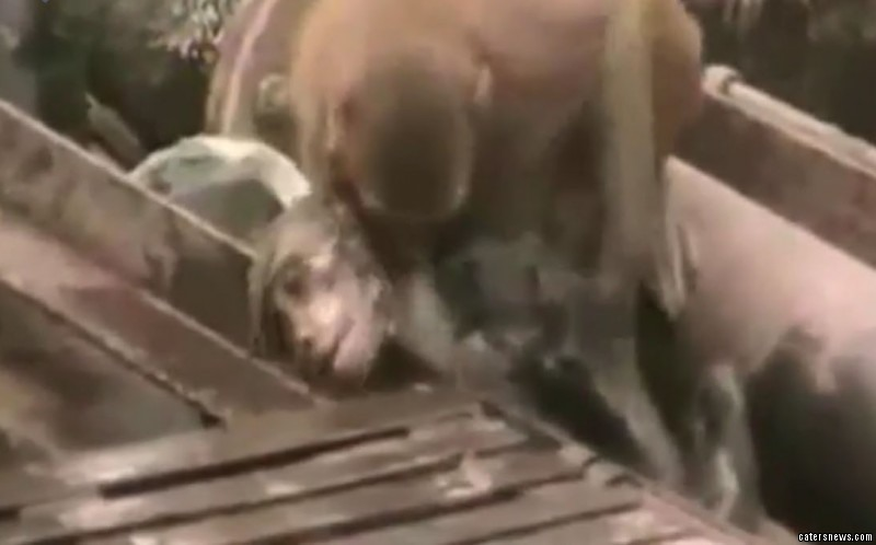 The monkey bit. slapped and dipped his pal to try and revive him