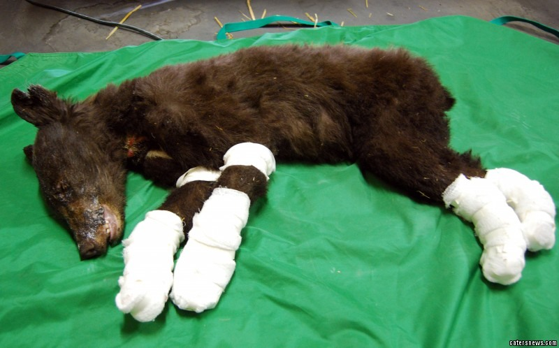 The black bear was found crawling on her elbows