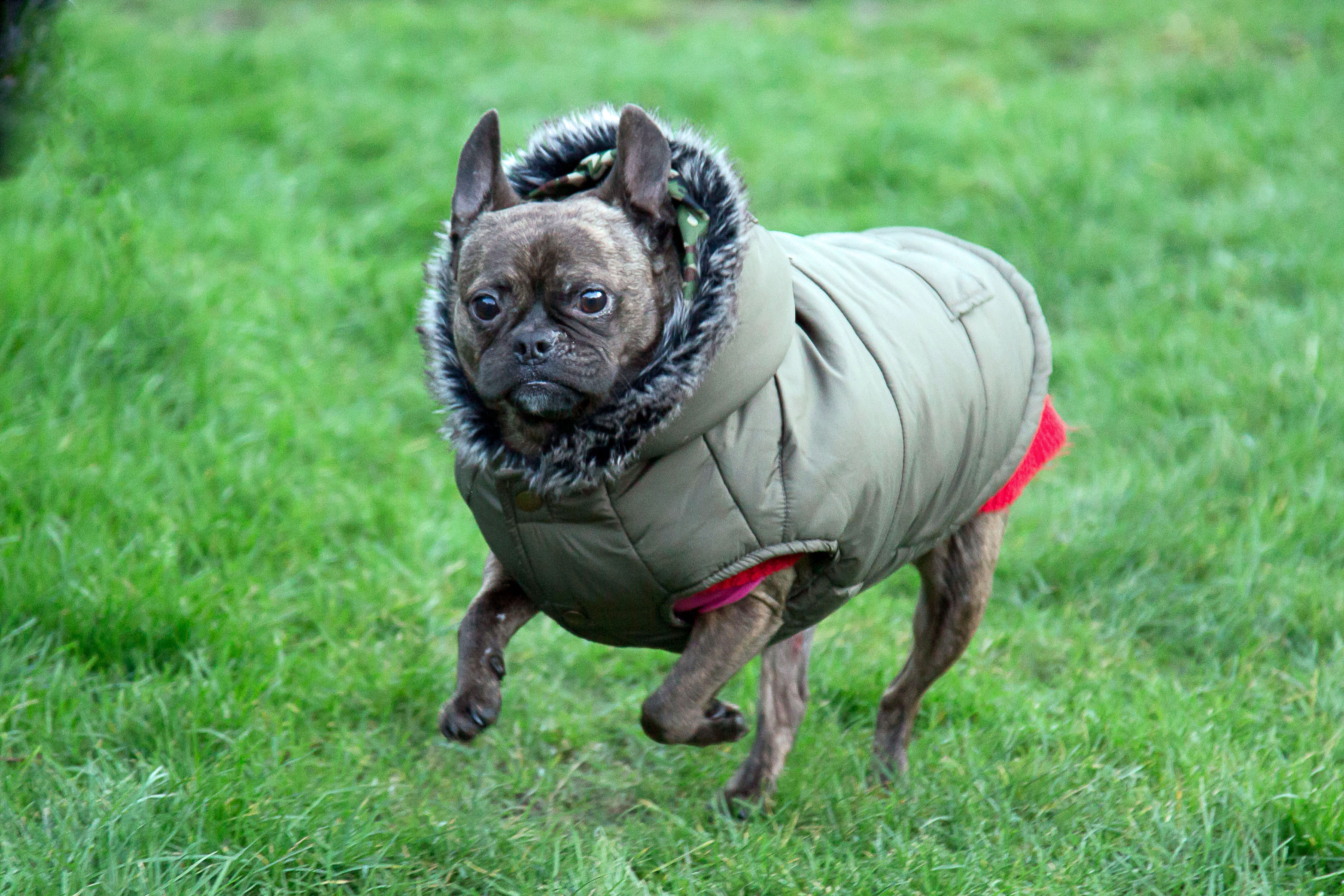 9bf6463b8 Meet the pug with bizarre stretchy skin condition who was so ill vets  advised EHR owners to put her to sleep – but who's been saved by wearing a  baby grow