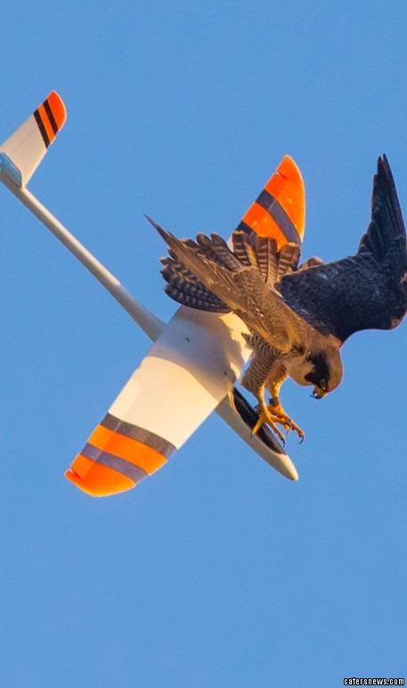 Is it a bird...on a plane? Angry falcon takes down model ...
