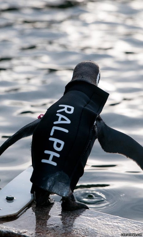 The flexible rubber wetsuit allows Ralph to play with his pals at Marwell Wildlife