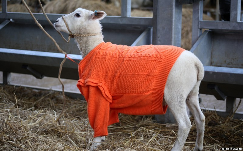 Farmer Adrian Oliver had the bright idea to warm him up with a child's jumper