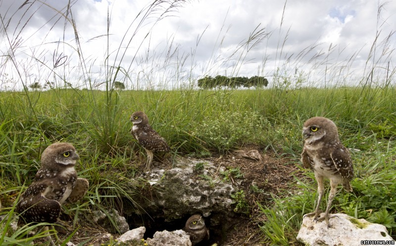 This is an incredible image of owls that choose to burrow into the ground, instead of living in the tree-tops. The wise creatures can be seen curiously gazing out over the grassland from their tunnelled habitat in Southern Florida.