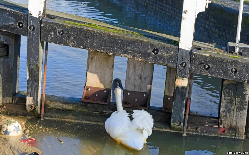The young swan was trapped in a lock for two days