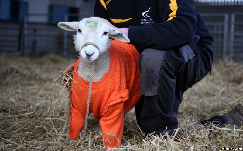 Broomie the lamb lost his fleece after a life-threatening illness
