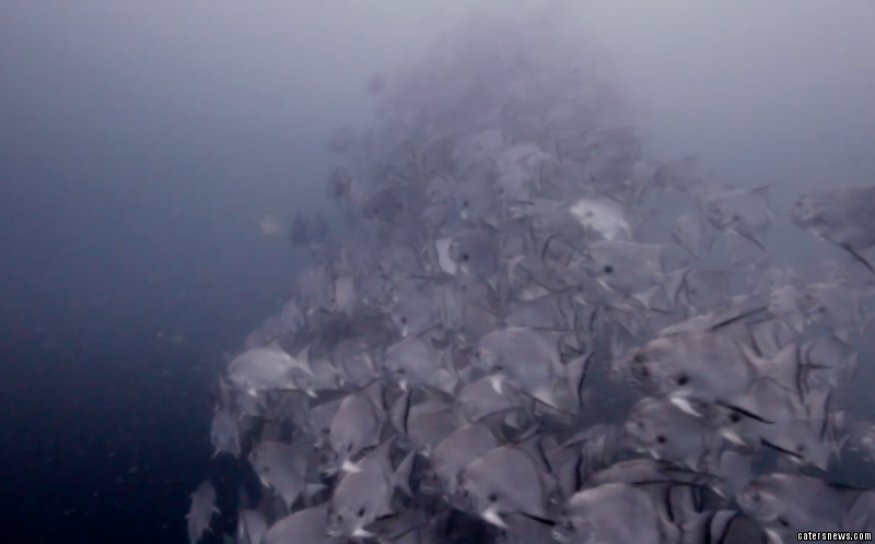 The column of Atlantic Spadefish can be seen swimming in a circle