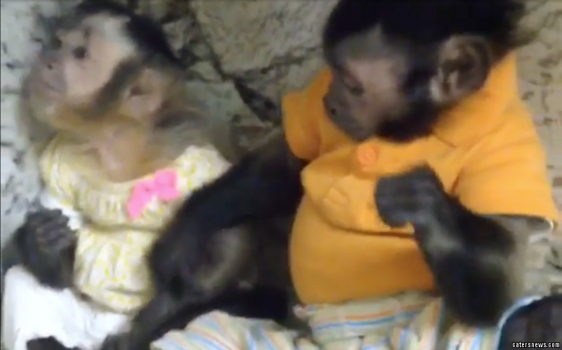 Male monkey Toby can be seen patting his friend Angelica on the back and holding her hand