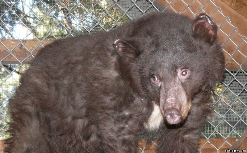 Cinder the 18-month-old bear was severely injured in the weeklong Carlton Complex Fire