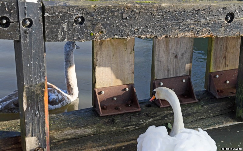 Photographer Nigel Kibble spotted the swan's parents desperately trying to rescue it