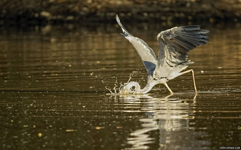 Heron using hippo as taxi