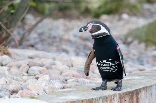 Ralph the bald penguin gets so cold in winter he has to wear a wetsuit