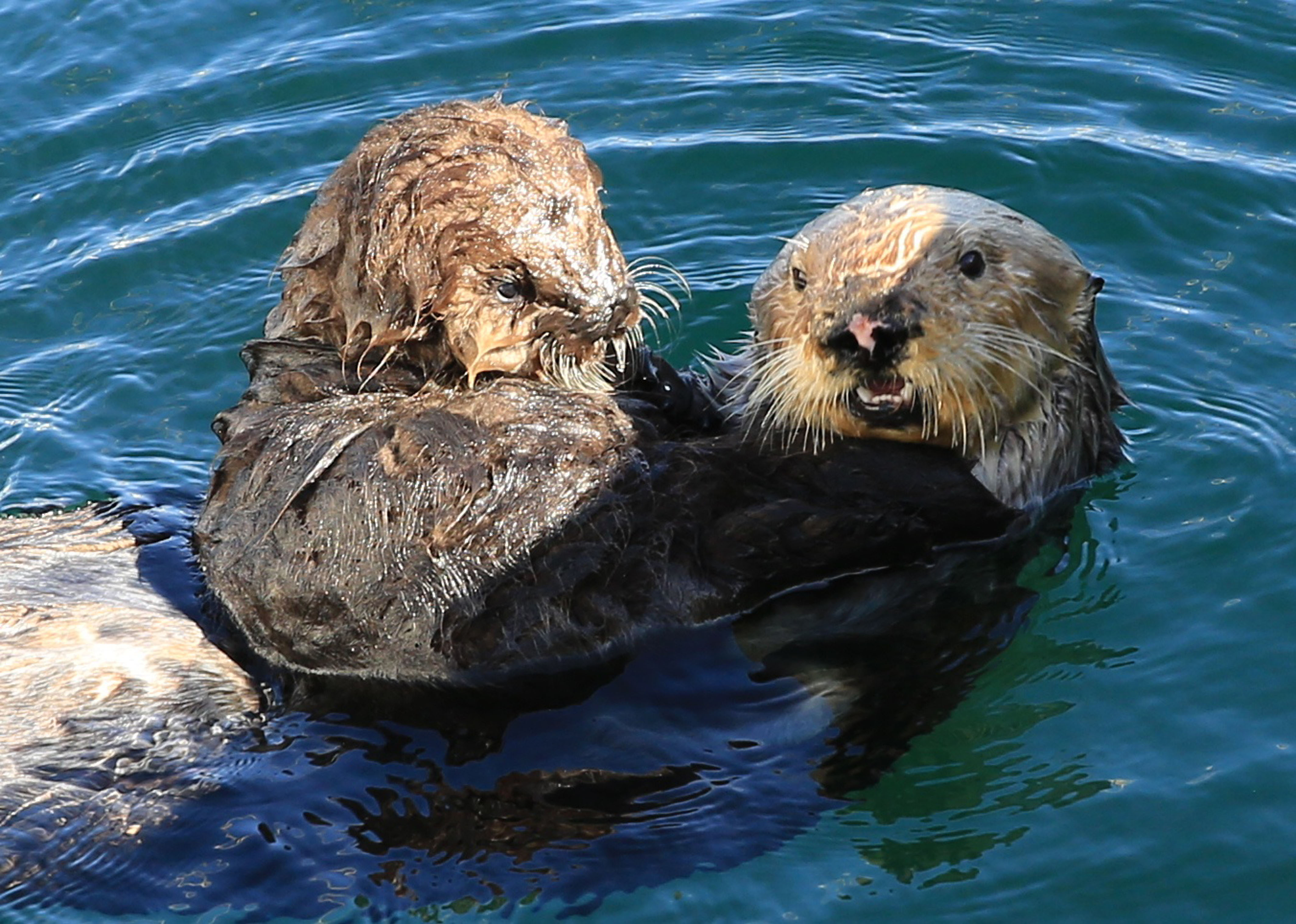 Totally And Otterly In Love Adorable Footage Of