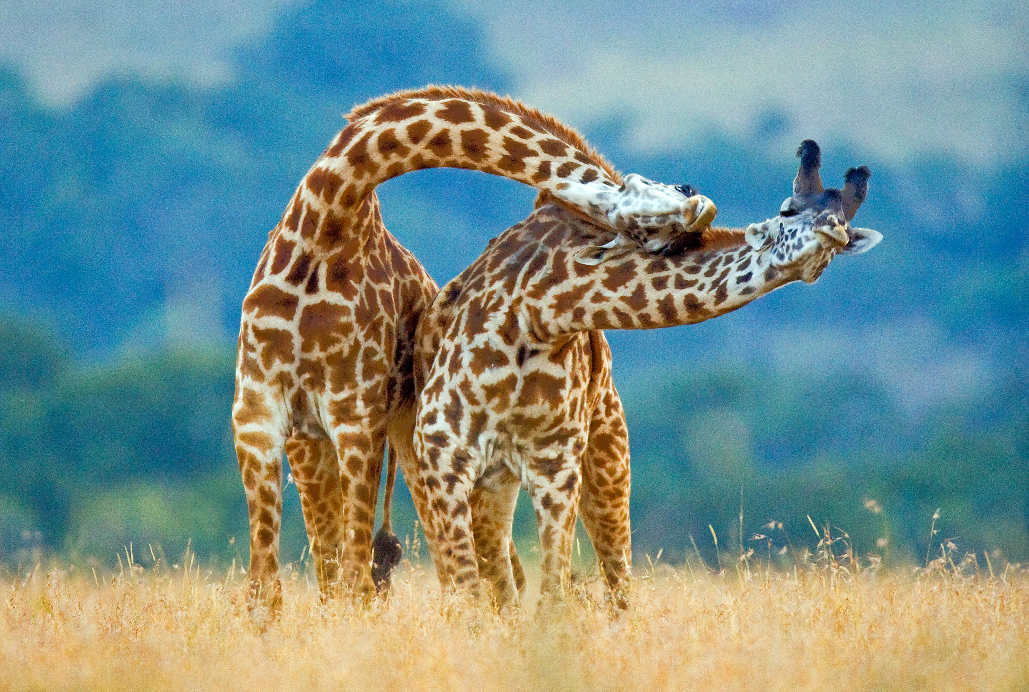 meet the giraffe dancing partners who are head and shoulders above
