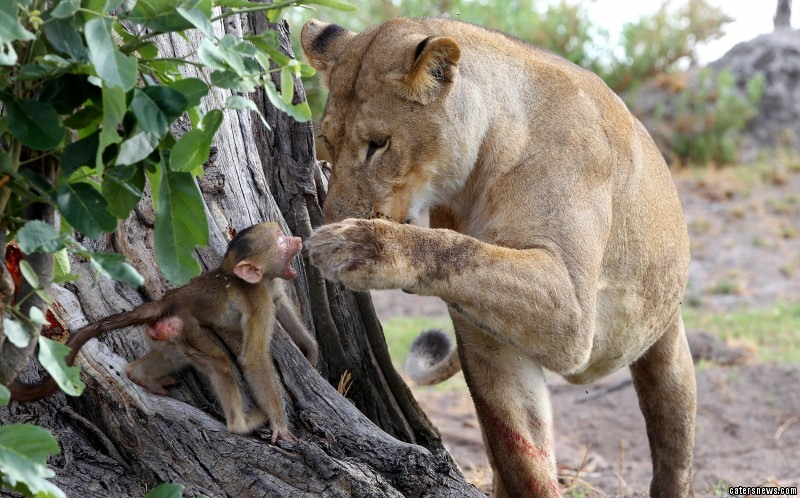 The lioness allowed the baby baboon to nuzzle into her chest despite killing the youngster's mother only moments befor