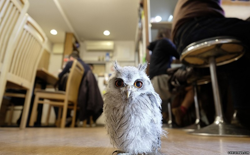 Owls are permitted to roam the cafe with patrons