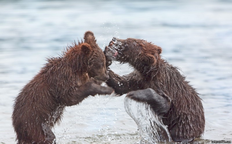 Rough and tumble: the adorable bears play fighting