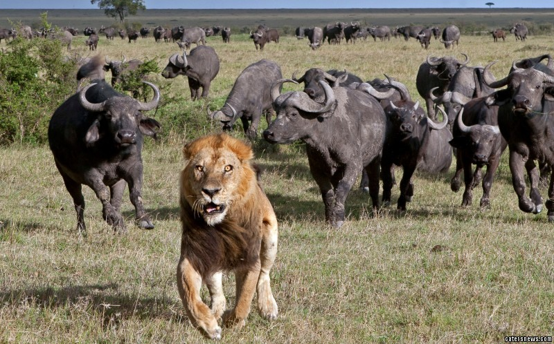 Running at full pelt, the lion tries to get away from the herd of buffalo