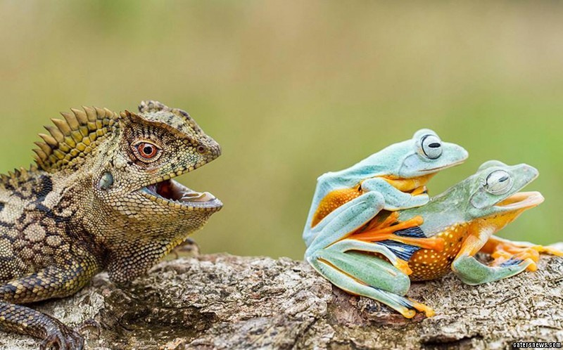 The frogs still managed to escape the lizard, despite being in the midst of their sexual liaison