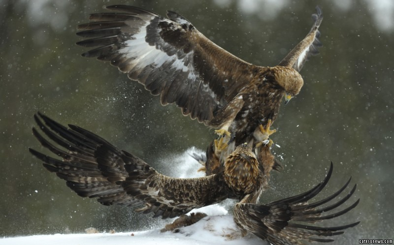 Eagles Fighting in the Snow