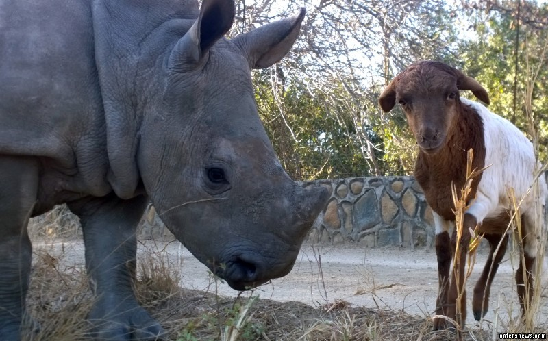 Baby rhino Gertje and lovable sheep, Lammie have an incredible bond