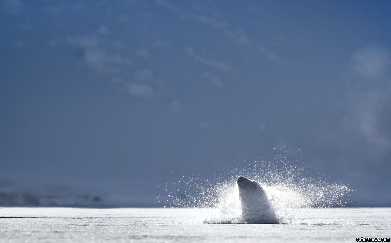 Plunging into the ice, the polar bear goes for an unexpected dip in the icy water