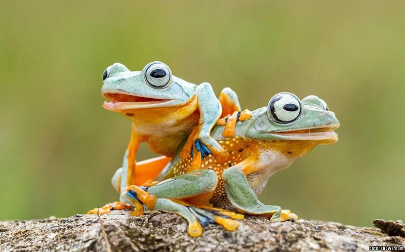 Love is in the air: the amorous frogs were caught in a compromising position