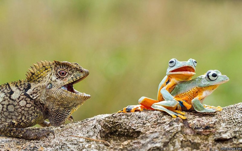Peeping Tom: gobsmacked by what he saw, the intrusive lizard got a front row seat