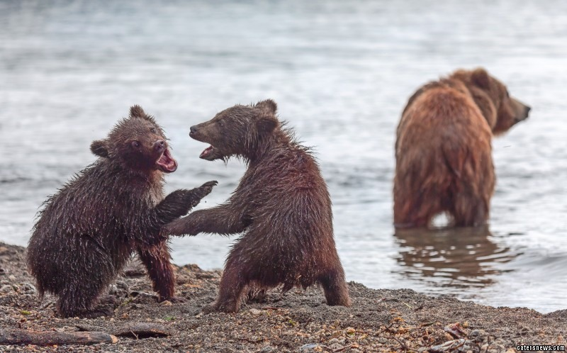 Photographed wrestling in Russia, the pesky bear's mum had to split them up