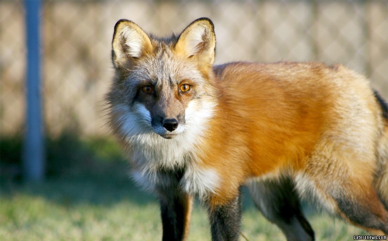 Teagan was adopted by a certified fox breeder