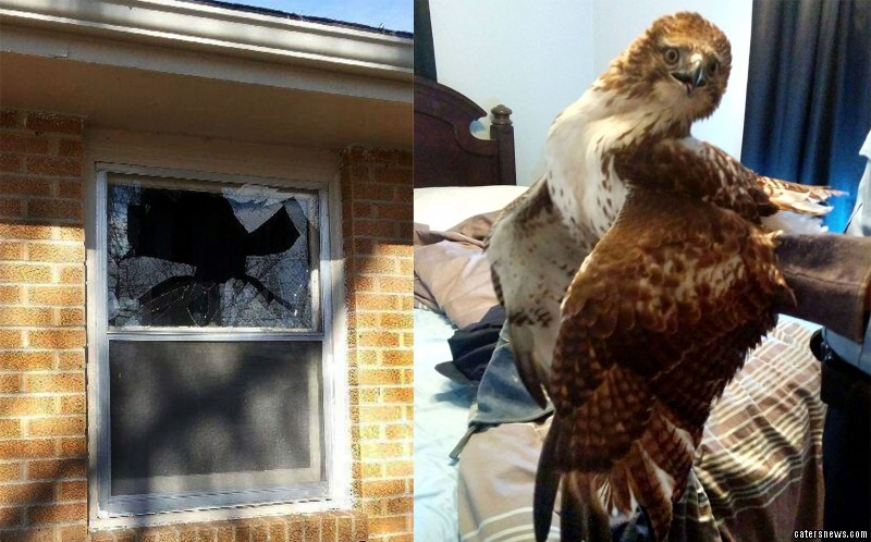 He found the hawk with a frightened look of confusion as it looked around Drew's bedroom