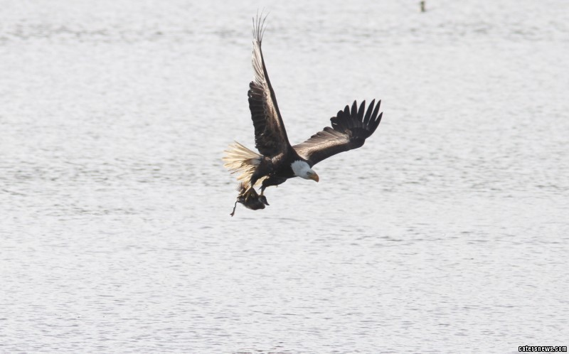 The Bald Eagle can be seen plucking the unlucky Ruddy Duck from the water