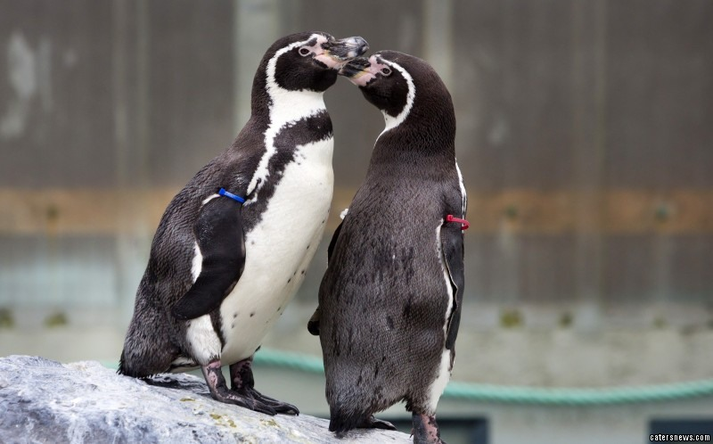 "Catrin Thomas, Folly Farm's penguin keeper, said: ""We're approaching breeding season and at around two years old, penguins become sexually mature, so we thought this year they may show some interest but they haven't as yet."""