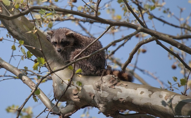 With its tail between its legs the raccoon climbs the tree