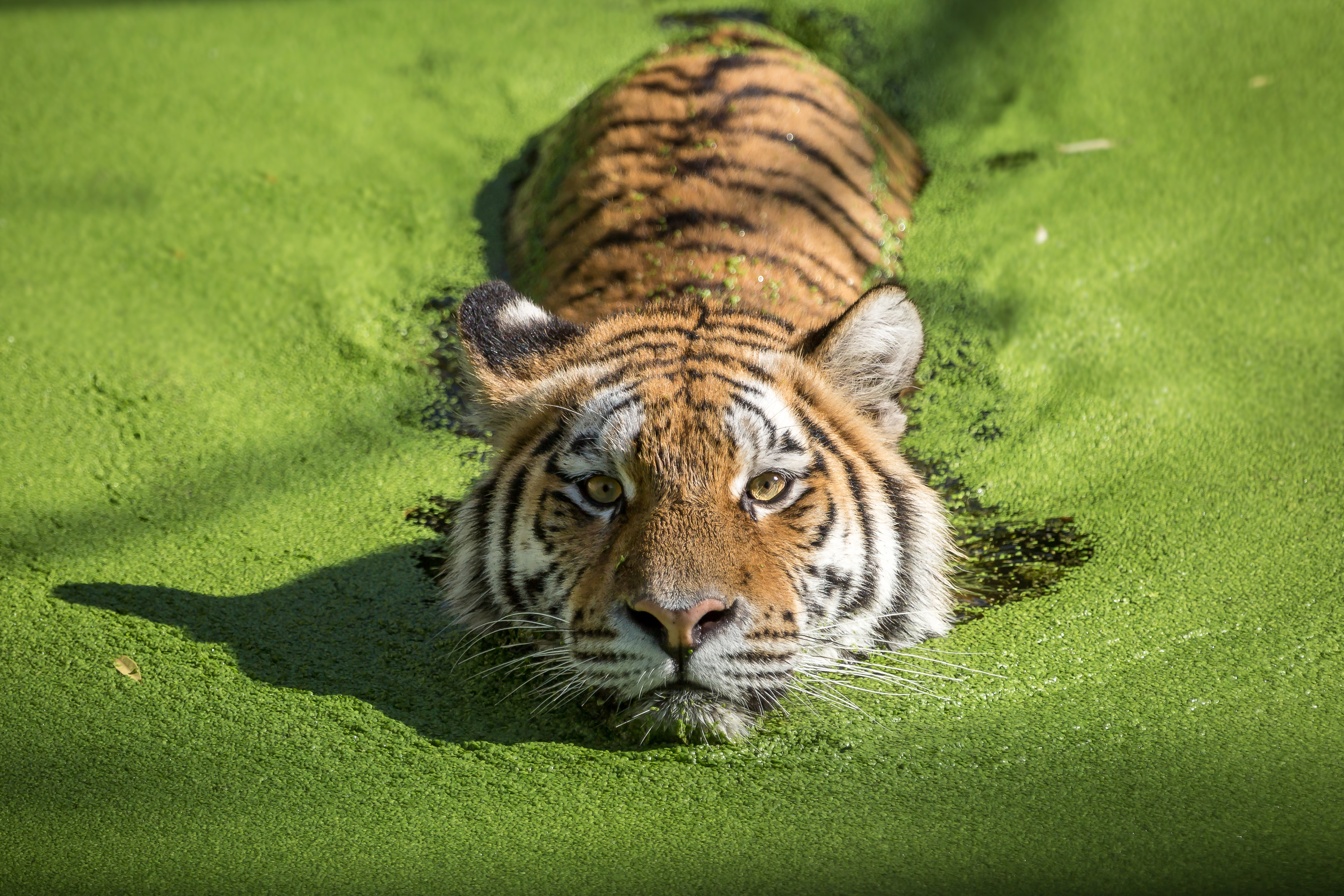 Home Office Looks Tiger Takes A Dip In Algae Covered Water