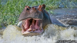 Terrifying Hippo Charge