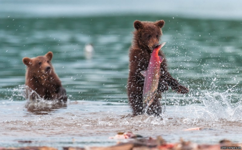 The bear cub  clearly had eyes bigger than its belly
