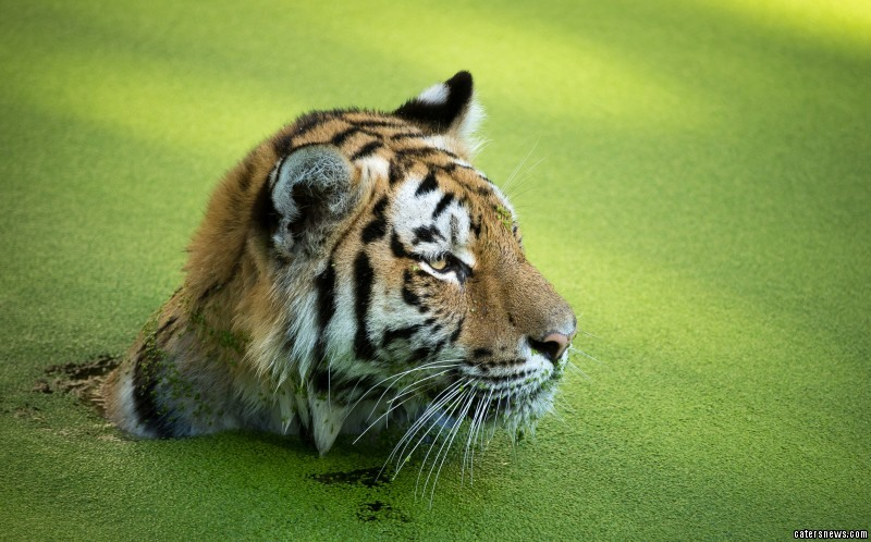 Tiger Takes A Dip In Algae Covered Water
