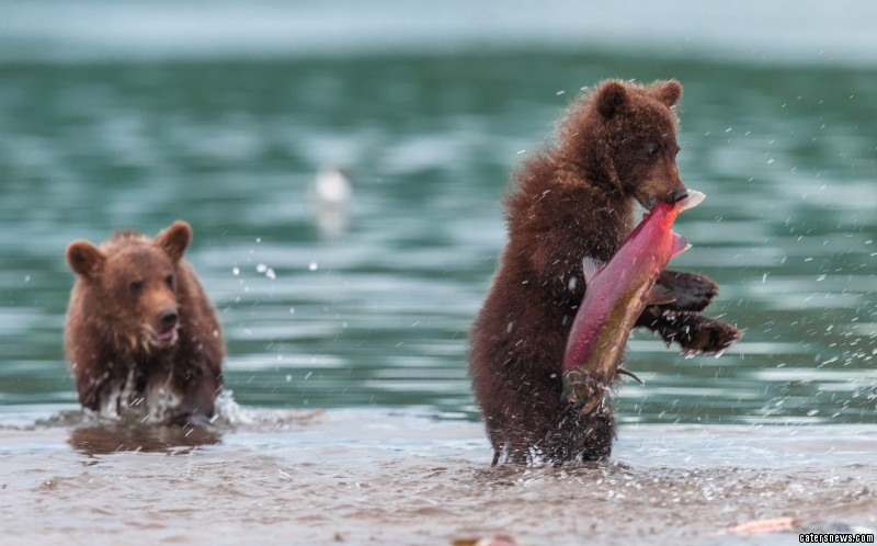 Wildlife photographer, Sergey Ivanov, 52, spent days photographing the bears hunting at Kuril Lake