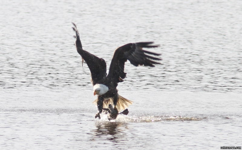 """The extraordinary moment was caught on camera by Phil Lanoue, he said: """"The eagle flew off towards the nest with an evening meal for its babies."""""""