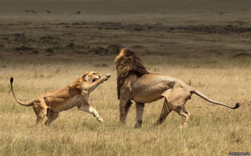 Frustration causes the female lion to lash out