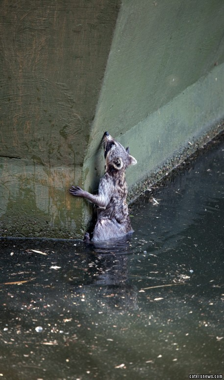 The panicked raccoon then struggled to find a way out of the water