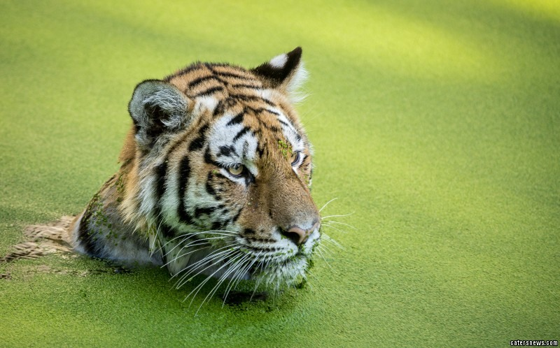 Tiger Swims in Algae Pond