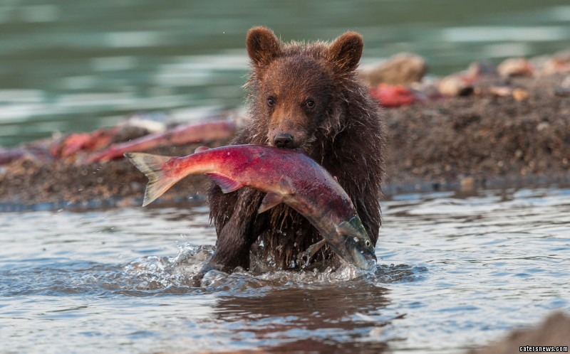 This bear cub nearly bit off more than it could chew when it was spotted struggling with a huge salmon