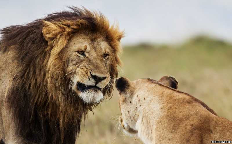Curling his lip, the male lion isn't in the mood for a domestic