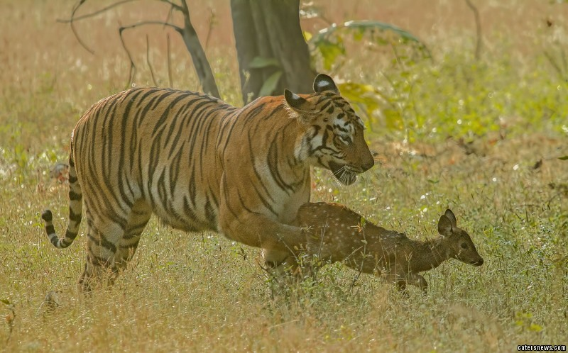 Tiger playing the baby deer