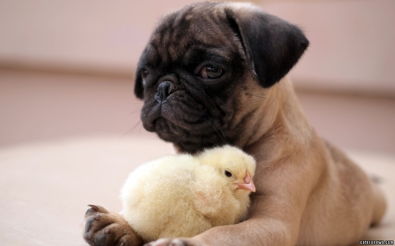 Pug and Chick are best friends