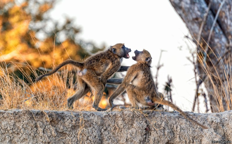 Violent Baboon Fight