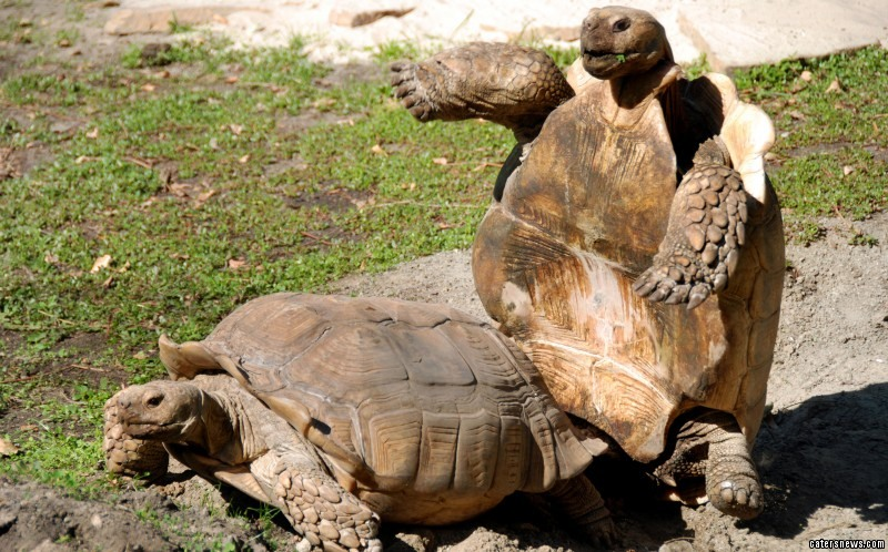 Losing balance, the tortoise is sent toppling over onto its back