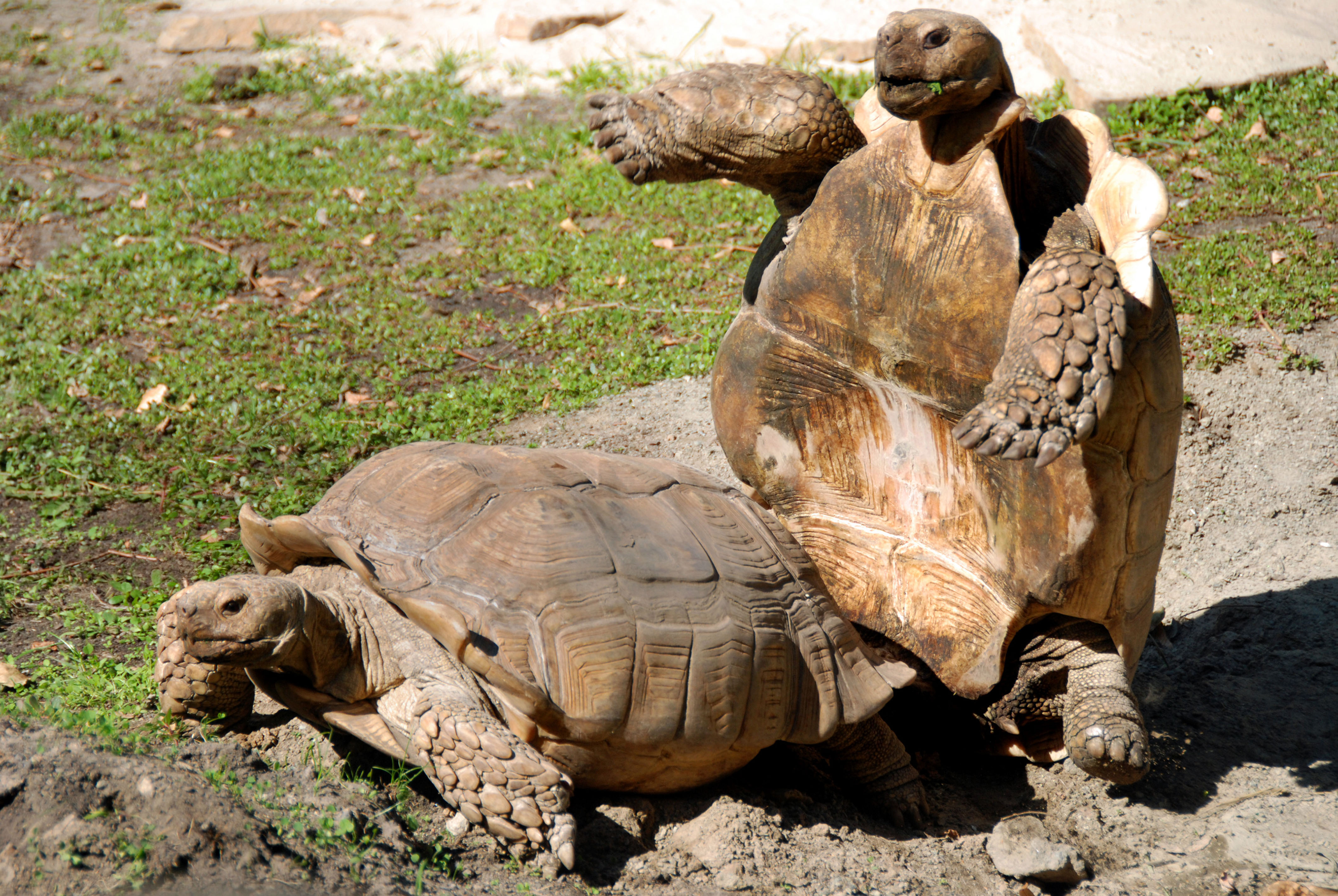 Tortoise Seen Lying Down On Job After Trying To Mount Female
