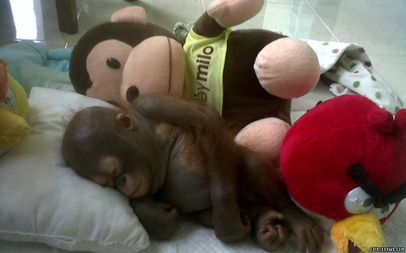 Thanks to thousands of pounds in donations, Budi, who is now 15 months old, is being nursed back to health and new video footage of him happily feeding himself with his new best friend